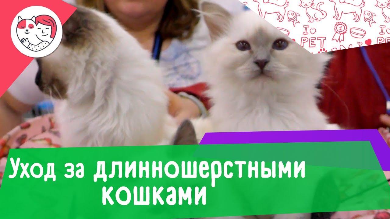 5 особенности ухода за длинношерстными кошками