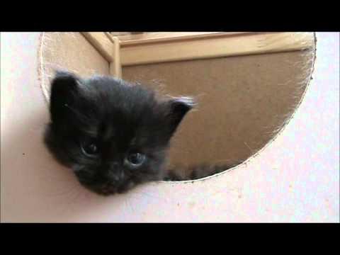 Entriamo nella cuccia di mamma gatta - Cucciolata di gatti siberiani figli di Sila