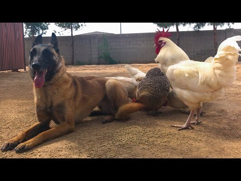 You won't believe this Belgian Malinois after Online Dog Training ...