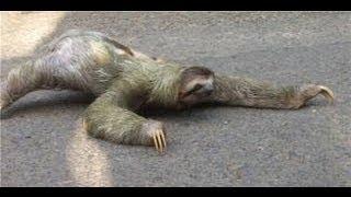 Sloth Tries to Cross Road thumbnail