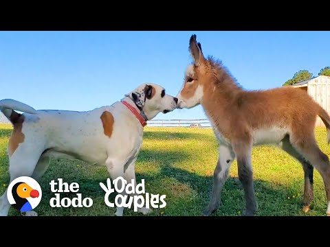 The Friendship of This Dog and Baby Donkey Is Too Cute!