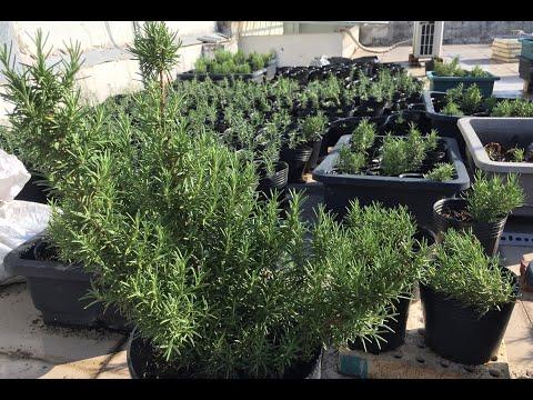 Kỳ lạ: Rừng hương thảo 1.000 cây trên mái nhà - kỹ thuật giâm trồng | THÍCH TRỒNG CÂY TV
