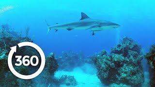 Protecting Ocean Anchor Species | Racing Extinction (360 Video)