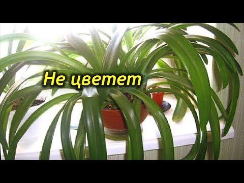 Амариллис не цветет? Как заставить зацвести растение.