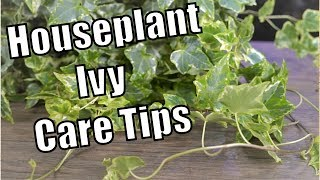 Houseplant Ivy Care