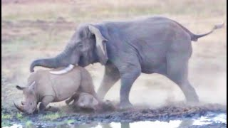 """Watch the intense moment a powerful elephant turns on a rhino and her baby that are taking up space at the local waterhole.  Around Shishangeni Lodge a lot of action takes place. Such was proven by Krishna Tummalapalli, the 64-year-old Interventional Cardiologist from India. Upon his family visit to the Kruger National Park in early June 2019, he captured an amazing video of an elephant and rhino interacting on a crazy level! We asked Krishna to explain to LatestSightings.com what exactly happened, and he told us the following story: """"We were on a family trip to South Africa in early June 2019. We had been hoping to visit Africa for quite some time and needless to say, it didn't disappoint! We went to the Kruger National Park and on our second day of safari - around 5 in the afternoon - at Shishangeni Lodge, I managed to take this video near the watering hole."""" """"Even without this incredible sighting, it was shaping out to be a very good Safari. We saw lots of Zebra herds and took a cute video of a rhino taking a mud bath. There were lots to see even before we got to witness what was probably the most intense occurrence. We went to the watering hole and were watching two rhinos drinking water for a bit of time before we spotted two elephants approaching from the distance. We were curious about what was about to happen but we never expected them to get into a fight.""""  """"We were amazed that we could see something like the elephant become aggressive towards the rhinos. We were also worried for the baby rhino, especially after the elephant pushed the rhino mom over her own baby! We felt a bit more at ease once the rhinos started running away with seemingly no injury. Who knew that an elephant carries such power? As Indian Americans, we were used to Indian elephants which are not as big as African elephants. We think of rhinos as huge animals, but the elephant literally pushed the rhino around like it was nothing!""""  """"After the rhinos managed to escape some serious injury, """