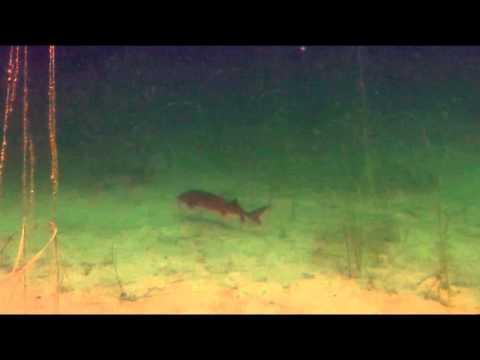 Sterlets Immenhofer See - Andrés Tauchvideos , Immenhofer Baggersee,Bayern,Deutschland