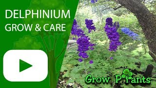 Delphinium - Grow And Care, Great Cut Flower