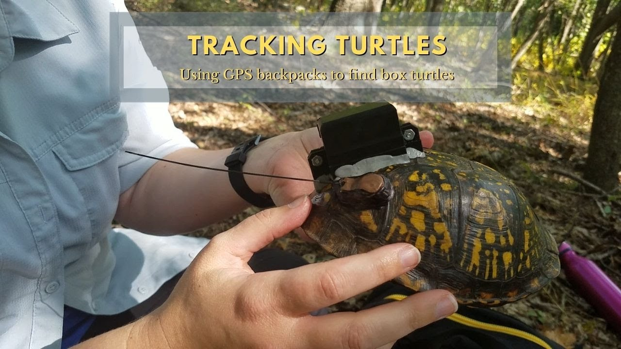 Turtle Tracking: Using GPS Backpacks To Find Box Turtles
