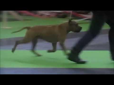 WORLD DOG SHOW 2011 Champion Class Males