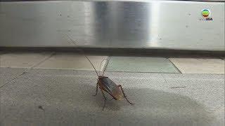救命啊! 「蟑螂兵團」襲擊到骨裂 - 東張西望