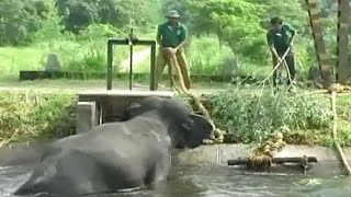 Elephant Rescued From Canal With Crackers