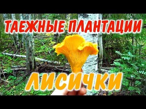 ГРИБ ЛИСИЧКА СБОР ГРИБОВ ЛИСИЧЕК. Поход за лисичками в заливной лес на шоковые грибницы