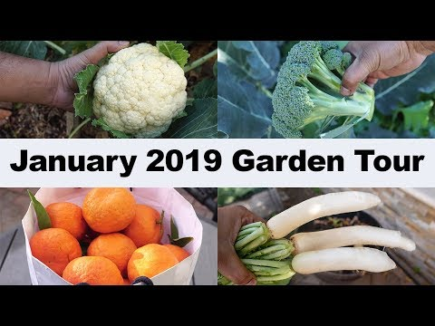 California Garden - January 2019 Garden Tour - Gardening Tips, Harvests & More!