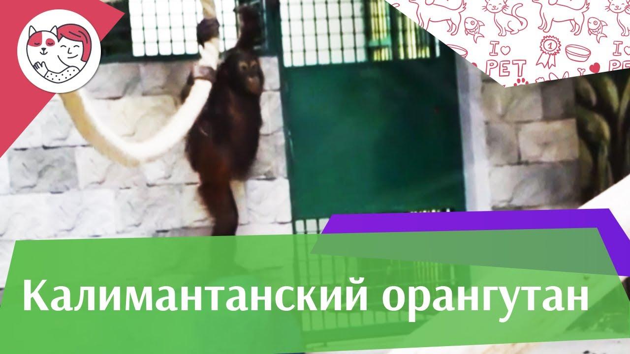 Калимантанский орангутан Поведение на ilikepet