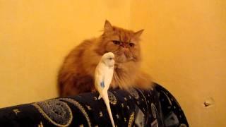 Попугай достает кота