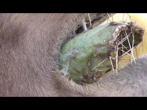 Wielbłądy kontra kaktusy