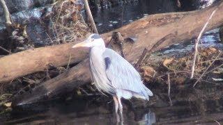 preview picture of video 'Heron at Lady's Bridge in Sheffield, October 2012. It must have cold feet!'