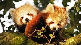 Ça va pas trop ? Voici des bébés panda roux - ZAPPING SAUVAGE