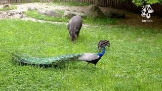 Mládě tapíra jihoamerického