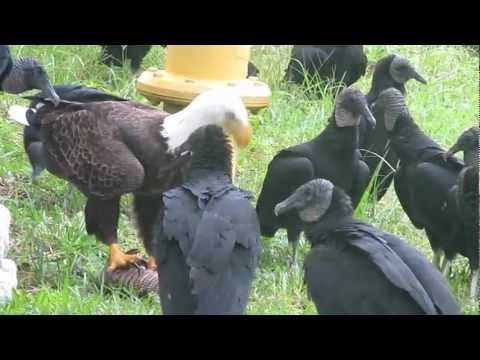 Wild bald eagle and vultures