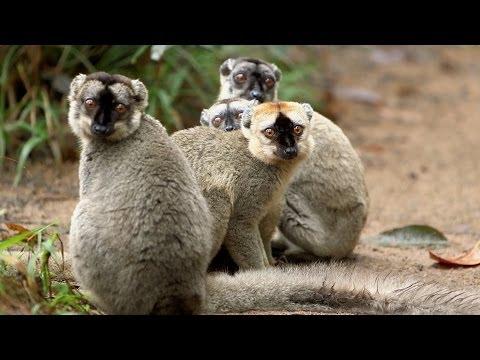 Island of Lemurs: Madagascar Featurette 'Lots of Lemurs'