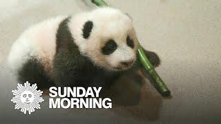 Meet Xiao Qi Ji, the Smithsonian National Zoo's star panda cub