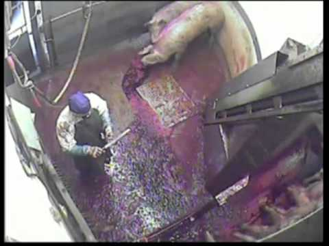 How Animals are treated in UK slaughter houses (vid)