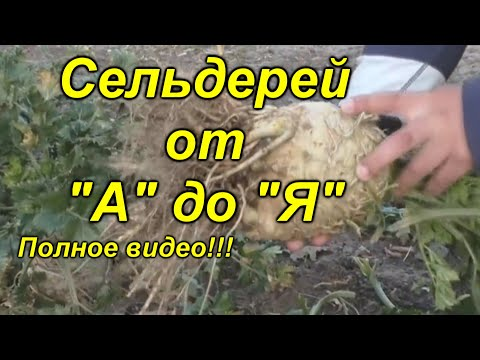 Корневой сельдерей - выращивание от начала и до конца в одном видео!