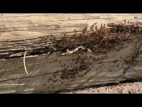 Massive Ant Colony Found in Railroad Ties in...