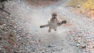 ORIGINAL - Cougar Encounter in Utah | Mountain Lion Stalks Me For 6 Minutes!