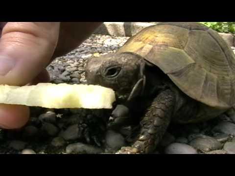 La tartaruga mangia una mela