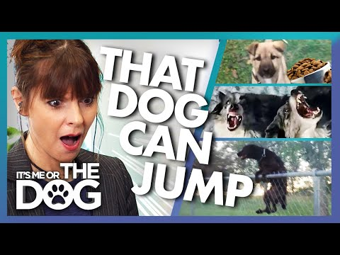 The Incredible Canine Acrobat and More   Victoria Stilwell Reacts to ...
