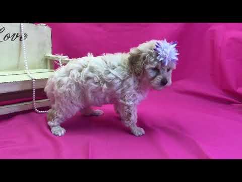 Creamred girl toy poodle
