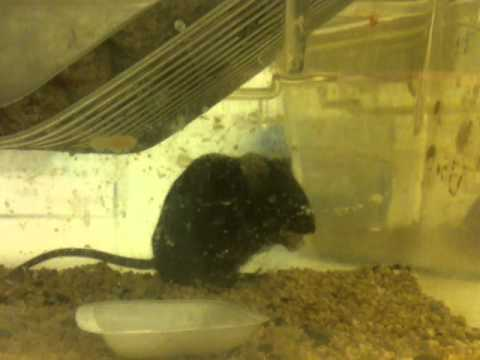Mouse eat jelly outside the dome