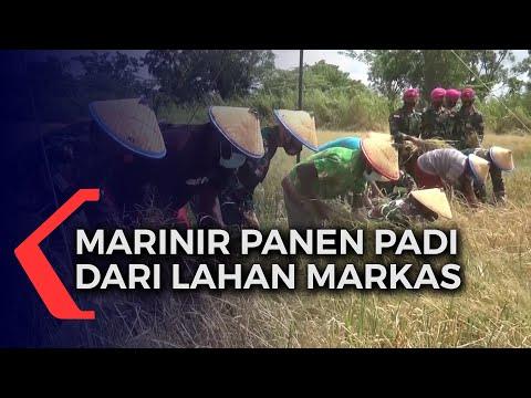 prajurit marinir panen padi dari lahan markas
