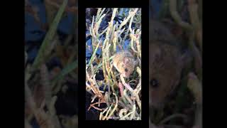 Salt marsh harvest mouse eats pickleweed!