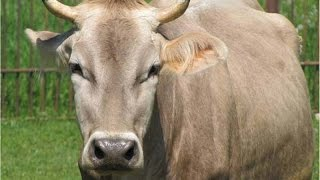Top 10 dairy cow breeds