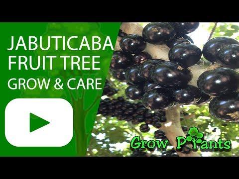 , title : 'Jabuticaba fruit tree – grow & harvest (Edible fruits)