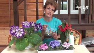 Красивые комнатные цветы фиалки глоксиния колерия