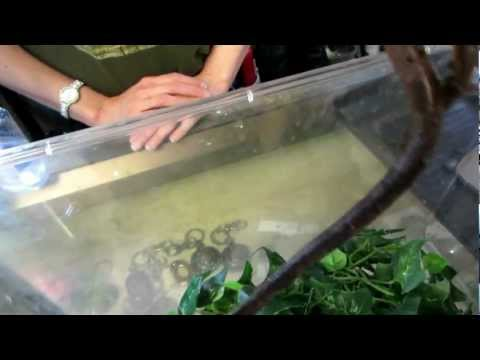 Indonesia Tree Boa With Babies At Reptile Rapture.MOV