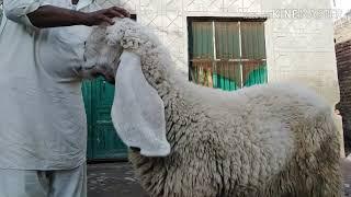kajli sheep breed - मुफ्त ऑनलाइन वीडियो