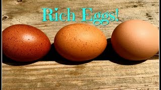 Rich Eggs! Marans, Welsummers & Golden Comets?