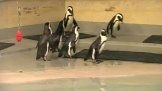Join us in celebrating WorldPenguinDay We are very proud that Marine Life