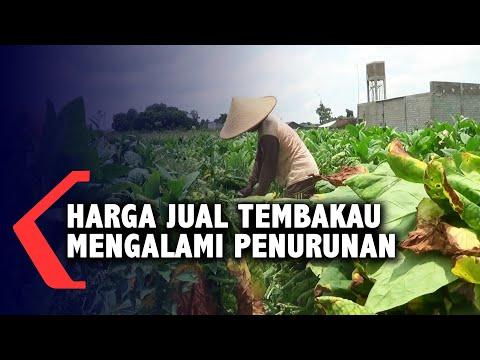 akibat cuaca buruk harga tembakau di tingkat petani anjlok