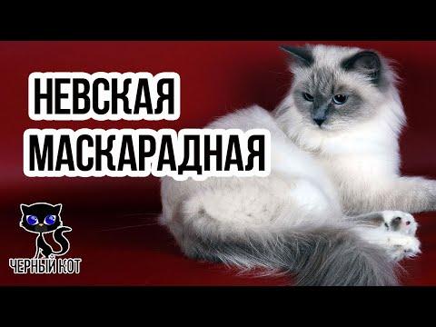 Невская маскарадная порода кошек / Интересные факты о кошках