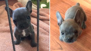 Tiny Frenchie Wont Stop Complaint | Dog Rescue Stories