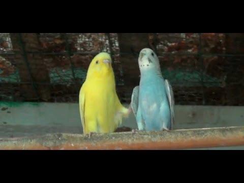 Loving Moments of Love Birds (1080p HD)