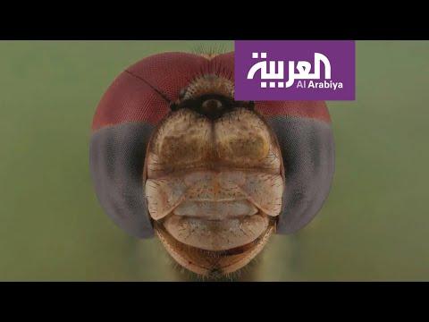 العرب اليوم - شاهد: علاقة مُصوّر سعودي بالحشرات من الـ