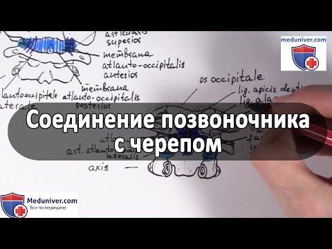 Суставы и связки соединения позвоночника с черепом - meduniver.com